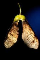 Ahorn Frucht, Früchte, Samen, Same, Früchte sind Spaltfrüchte, mit zwei im Winkel abstehenden Flügeln, geflügelte Nussfrüchte,  Schraubenflieger, Flügelflieger, Berg-Ahorn, Bergahorn, Ahorn, Frucht, Acer pseudoplatanus, Sycamore, Erable sycomore