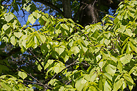 Kaukasische Linde, Tilia dasystyla, Tilia caucasica, Caucasian Lime, Caucasian Linden, Bigleaf Linden, Bigleaf Lime, le Tilleul du Caucase