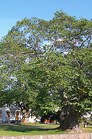 The sockerdricksträdet soda pop tree of Pippi Longstocking Nas. Vimmerby town Smaland region. Sweden, Europe.