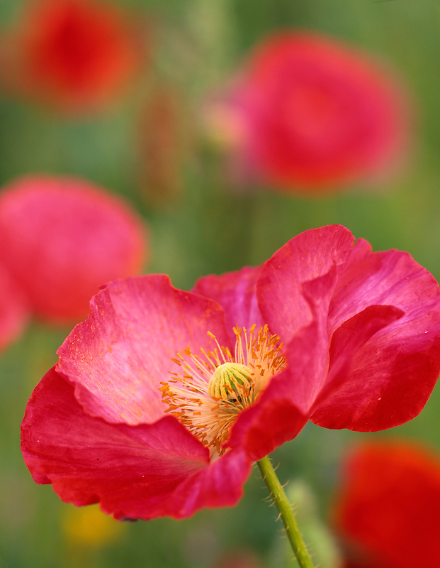 Red poppy in garden at summer Lake Inn, Oregon