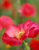Red poppy in garden at summer Lake Inn, Oregon