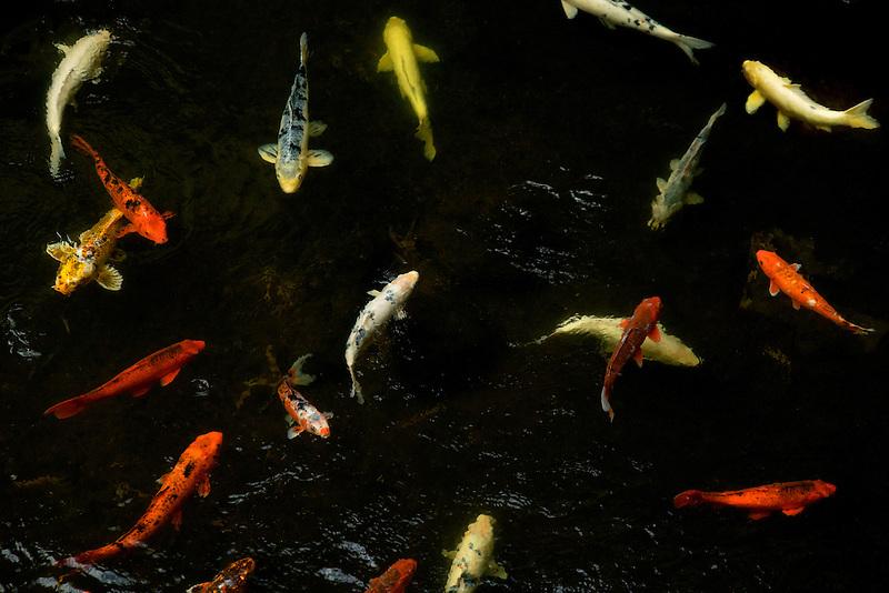 koi in pond at Four Seasons. Lanai, Hawaii