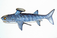 illustration of spine-brush ghost shark, Stethacanthus tumidus, marine, workdwide, this species is from Scotland, size 150 cm, Late Devonian, 375 Million Years Old, prehistoric ratfish, chimaera, or ghost shark