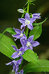 Tall Bellflower wildflower, growing along the edge of the woods on my rural Missouri land