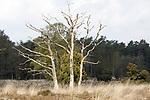 Foto: VidiPhoto<br /> <br /> LOENEN – Bos en hei op de Loenermark bij Loenen. Het Veluwse natuurgebied heeft net als de rest van de Veluwe veel last van verzuring en vermesting, veroorzaakt door een teveel aan stikstofneerslag. Gevolg is dat planten afsterven, insecten verdwijnen en eikenbomen dood gaan. Op een aantal plekken op de Veluwe is 90 procent van de eiken al afgestorven.<br /> Foto: Een dode solitaire eik op de hei.