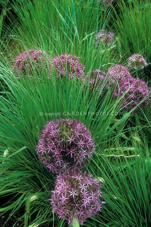 Allium christophii with Molina caerulea ssp.caerulea 'Edith Duszus', ornamental onion with ornamental grass in planting combination, perennials