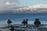 Bald eagles perch on rocks at Homer, Alaska.