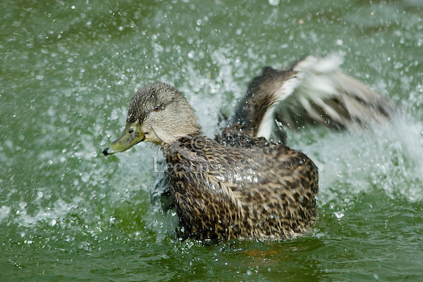 American Black Duck (Anas rubripes) hen bathing.
