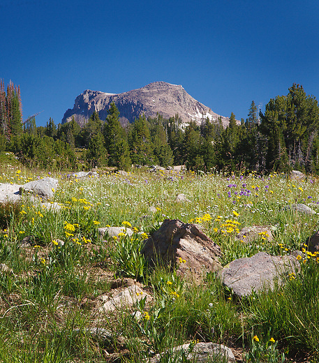 wildflowers and lonesome mountain along the high lakes trail in the beartooth wilderness area