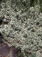 Euonmus fortunei similar Frosty Pearl