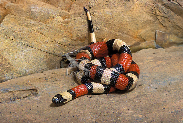 Pueblan Milksnake..Mexico. Popular as Pets..(Lampropeltis triangulum campbelli).