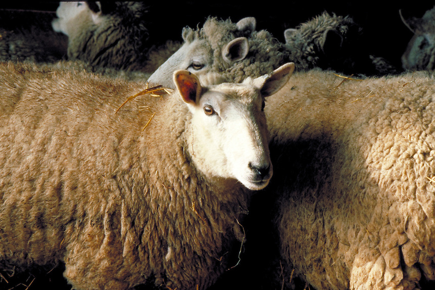 Portrait of white-faced ewe. A curly-haired ewe looks over her back, livestock.