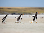 Gentoo penguins chase their mum for food by David Higgins
