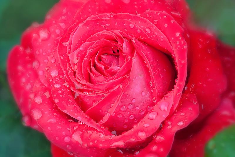 Close up of Alec's Red Rose. Heirloom Gardens, St. Paul, Oregon