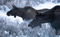 Most of my moose sightings this winter were fairly distant, with a couple of exceptions.