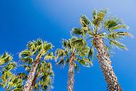 palm trees, Coronado Island, San Diego, California, USA, Pacific Ocean