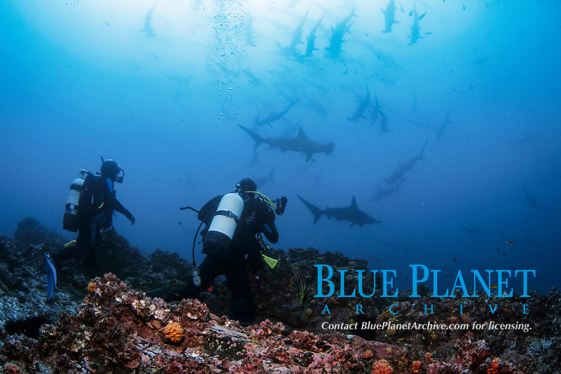 scalloped hammerhead shark, Sphyrna lewini, also known as the bronze, kidney-headed or southern hammerhead, endangered species, schooling with divers, Cocos Island National Park, Costa Rica, Pacific Ocean, MR