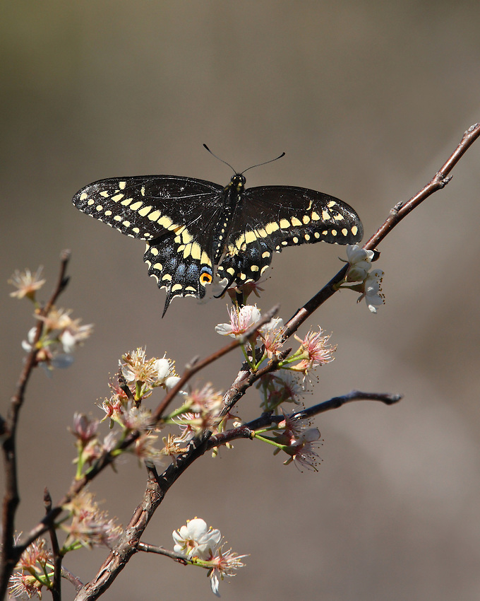 The Flowering Dogwood is always a welcome sight, a beautiful harbinger of Spring. Black Swallowtail Butterfly in February.