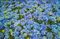 Hydrandea, Bavarian blue.