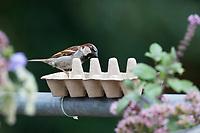 Hausspatz, Männchen, Eierkarton, Eierschachtel, Eierpappe, Eierpappen wird mit Vogelfutter gefüllt und mit Kabelbindern am Geländer, Balkongeländer fixiert. Einweg-Futterschale, wenn die Pappe verschmutzt ist, kann sie einfach entsorgt und durch eine neue ersetzt werden. Vogelfütterung, Futterstelle auf dem Balkon, Dachterrasse. Haus-Spatz, Spatz, Haussperling, Haus-Sperling, Spatzen, Passer domesticus, House Sparrow, male, sparrows, Le Moineau domestique