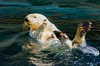 California Sea Otter (Enhydra lutris nereis) (c) (do) Point Defiance Aquarium, WA,