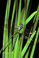 1O11-016a Dragonfly inflating wings after emerging - Black-tipped Mosaic Darner - Aeshna tuberculifera