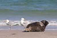 Kegelrobbe, Kegel-Robbe, Kegel - Robbe, gemeinsam mit Silbermöwe am Strand, Halichoerus grypus, Grey Seal, Phoque gris