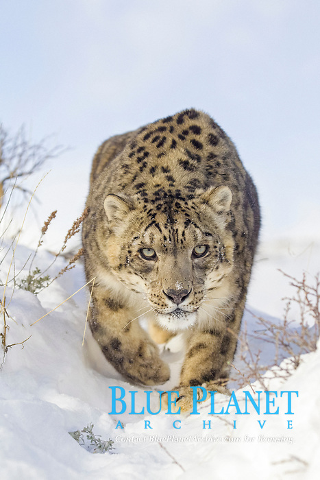 Snow Leopard (Panthera uncia), adult, walking in snow, winter, captive