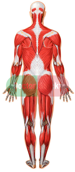 This medical illustration depicts skeletal muscles from a posterior (rear) view.