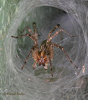 0925-06ww  Grass Spider - Funnel web spider - Agelenopsis spp. - © David Kuhn/Dwight Kuhn Photography