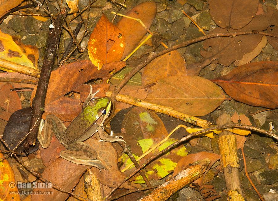 Vaillant's Frog, Lithobates vaillanti (formerly Rana vaillanti), near Arenal Volcano National Park, La Fortuna, Costa Rica
