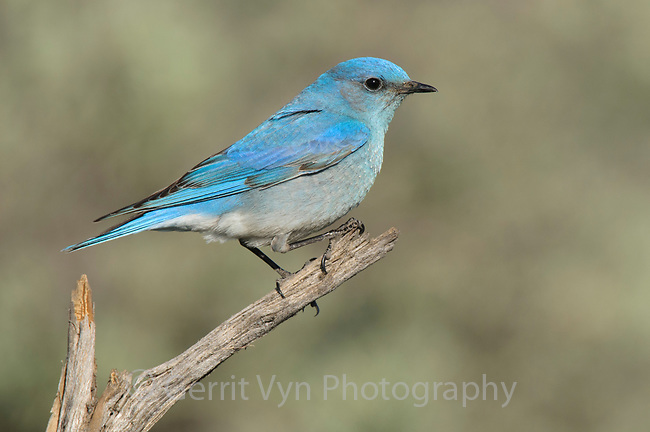Adult male Mountain Bluebird (Sialia currucoides). Douglas County, Washington. April.
