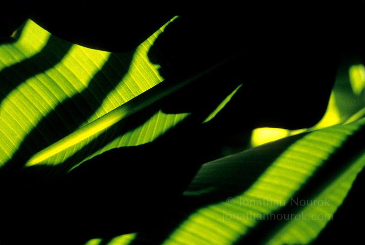 close-up of a banana tree leaves