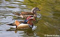 0310-1013  Pair of Mandarin Ducks (Drake in Foreground, Female in Background), Aix galericulata  © David Kuhn/Dwight Kuhn Photography.
