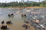 10 March 2015, Kandy, Sri Lanka: Elephants from the Pinnawala Elephant Orphanage bathing in the Maha Oya river outside of Kandy, Sri Lanka.  Pinnawala is an orphanage, nursery and captive breeding ground for wild Asian elephants located at Pinnawala village, 13 km (8.1 mi) northwest of Kegalle town in Sabaragamuwa Province of Sri Lanka. Pinnawala is notable for having the largest herd of captive elephants in the world. In 2011, there were 88 elephants, including 37 males and 51 females from 3 generations, living in Pinnawala.<br /> The orphanage was originally founded in order to afford care and protection to many of the orphaned unweaned wild elephants found wandering in and near the forests of Sri Lanka. It was established in 1975 by the Sri Lanka Department of Wildlife Conservation. Picture by Graham Crouch for the New York Times