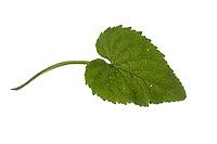 Ährige Teufelskralle, Weiße Teufelskralle, Phyteuma spicatum, spiked rampion, La Raiponce en épi. Blatt, Blätter, leaf, leaves