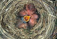 Amsel, frisch geschlüpfte Küken im Nest, Schwarzdrossel, Schwarz-Drossel, Drossel, Turdus merula, blackbird