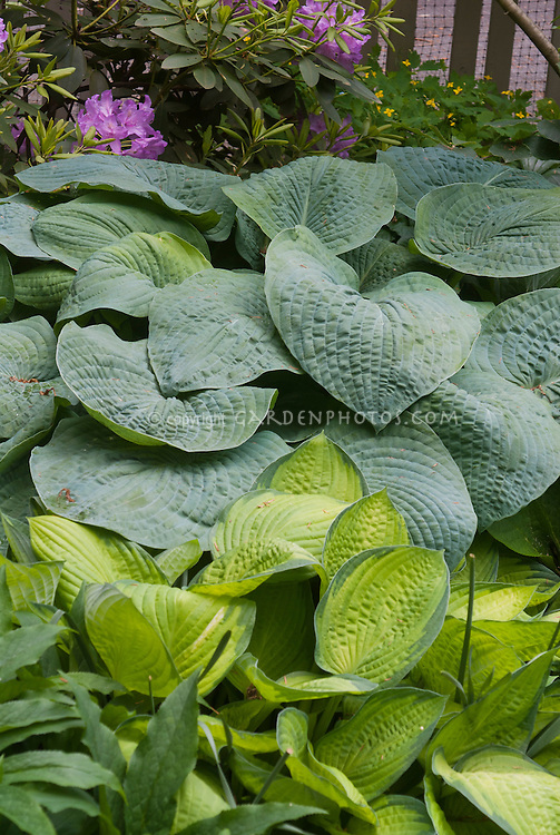 Hosta Blue Mammoth corrugated foliage with variegated yellow center with green edge, with Paul's Glory and rhododendron