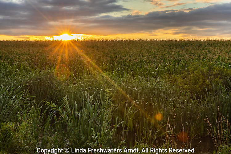 The sun rising over a field of corn in nothern Wisconsin.