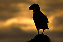 Atlantic puffin (Fratercula arctica) silhouetted at sunset, Isle of Lunga, Treshnish Isles, Scotland, June.