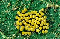 1C31-003x  Mexican Bean Beetle - eggs - Epilachna varivestis