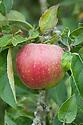 Apple 'Worcester Pearmain', mid August.