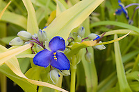 Tradescantia 'Sweet Kate' perennial plant in flower closeup with yellow foliage leaves