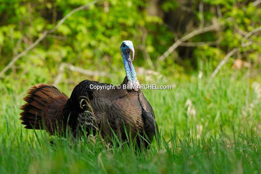 01225-089.17 Wild Turkey eastern tom is strutting in a forest opening during late spring.  Hunt, gobble, breed, feathers.  H5R1