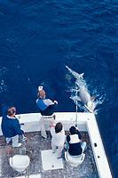 sport fishermen catch a scalloped hammerhead shark, Sphyrna lewini, Miami, Florida, Atlantic Ocean
