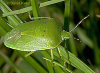 0720-07ss  Green Stink Bug - Acrosternum hilare - © David Kuhn/Dwight Kuhn Photography
