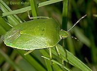 0720-07ss  Green Stink Bug - Acrosternum hilare - © David Kuhn/Dwight Kuhn Photography