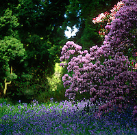Bluebells and rhododendrons create a colourful display in the woodland garden at Ramster in Surrey