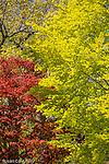 Red maple leaves at Mount Auburn Cemetery, Cambridge, Massachusetts, USA
