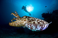 A diver hovers over a large Broadclub cuttlefish, Sepia latimanus, which is undergoing color and texture changes. This species, though quite common, is sometimes difficult to see due to its effective camouflage. Buyat Bay, North Sulawesi, Indonesia, Pacific Ocean